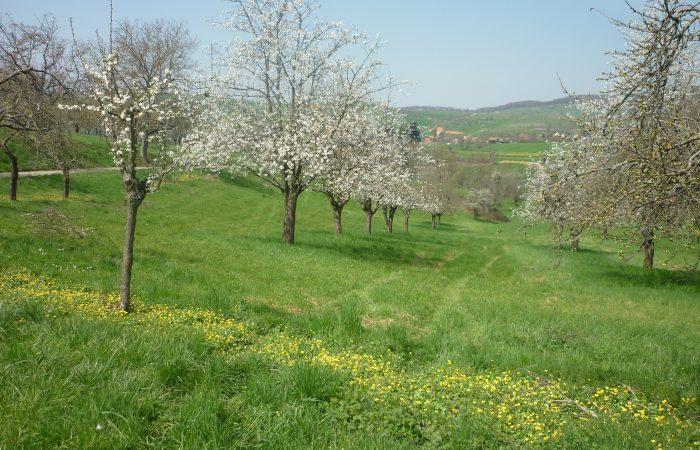 Kirschblüte bei Schloss Bürgeln